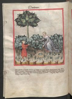 Cod. Ser. n. 2644, fol. 36v: Tacuinum sanitatis: Marubium