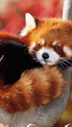 "A red panda (more closely related to a raccoon than a bear) -- also called a ""firefox""."