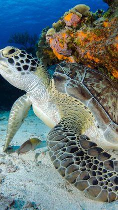 Beautiful Sea Creatures, Animals Beautiful, Cute Turtles, Sea Turtles, Sea Turtle Painting, Water Animals, Ocean Creatures, Ocean Photography, Ocean Life