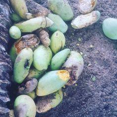 Need some help with picking Mangos from tree #Valampuriresort #kalpitiya #srilankatravel #srilanka #ecotourism #srilankanfood #srilankatravel #travelsrilanka #makefriends #adventuretravel #wonderfulplaces #drone #mangos