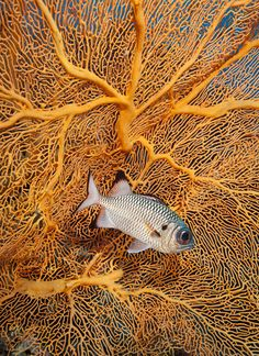View top-quality stock photos of Big Eye Squirrel Fish With Fan Coral In Palau. Find premium, high-resolution stock photography at Getty Images. Underwater Creatures, Underwater Life, Ocean Creatures, Life Under The Sea, Under The Ocean, Fauna Marina, Beneath The Sea, Water Animals, Life Aquatic