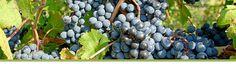 Prince Edward County Winegrowers Association- Tour Map, Terroir, Events etc.