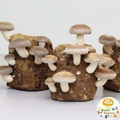 Fuji SHIITAKE MUSHROOM ORGANIC GROWING KIT  you can enjoy the growth of simple and speedy within 1 week  Fuji shiitake Organic Mushroom . Also it is easy to  grow by beginners to enjoy. for independent research and children in food education!  If you use it well , you can have up to three  times of Fuji shiitake harvest . it is a medium to large sized shiitake Mushroom ! when you finished using, the Mushroom bed can be use as fertilizer for plants .