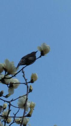 목련꽃 먹는새