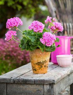 Vyberte si na váš balkón ten správny druh Pink Geranium, Small Gardens, Topiary, Geraniums, Garden Paths, Indoor Plants, Planting Flowers, Glass Vase, Planter Pots