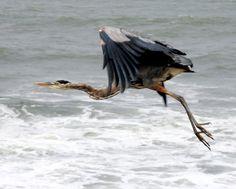 Great Blue Heron Ardea herodias - Google Search