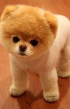Boo; the cuties dog on earth :)  (pomeranian)