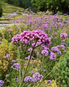 At sea of #verbenabonariensis at #odettewinery !  #hollisterdesignstudio #hollisterstudio #landscapedesign #landscapedesigner #plants #gardens #design #designlovers  #droughttolerant #gardendesign #sideoftheroad