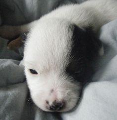 baby Doyle, Jack Russel Terrier