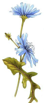 Receitas com flores de chicória (Ricette coi fiori: Crema alla cicoria.)
