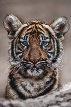 Curious little tiger cub