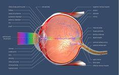 Analizatorul vizual - Analizatorii (organele de simț) Stop Eye Twitching, Posterior Vitreous Detachment, Vitreous Humour, Eye Anatomy, Eye Pain, Parts Of The Eye, Brown Eyes, Health