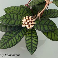 Hoya sp.Kalimantan
