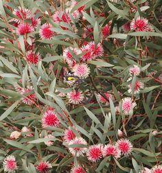 I love Pincushion Hakea Garden art Australian Wildflowers, Australian Native Flowers, Australian Plants, Garden Art, Garden Plants, Shade Garden, Garden Design, Garden Ideas, House Design