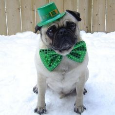Photo of Pug St. Patrick's Day Dog for fans of Animals 33877679 St Patricks Day Drinks, Happy St Patricks Day, Pug Photos, Pug Pictures, Pet Costumes, Animal Costumes, Pug Love, Animal Party, Cute Dogs