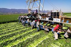 Farm workers cut and pack celery in Salinas Valley, California. Many farmers view the insecticide chlorpyrifos as indispensable in their battles with bugs.