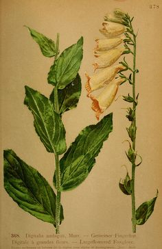 Largeflowered Foxglove - high resolution image from old book.Size in pixels: Vintage Botanical Prints, Botanical Drawings, Botanical Illustration, Illustration Art, Botanical Flowers, Botanical Art, Botanical Gardens, Impressions Botaniques, Page Decoration