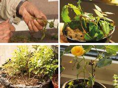 Så förökar du älsklingsrosen | Natur & Trädgård