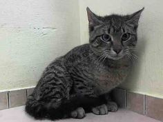 TO BE DESTROYED 5/9/14 ** SPECIAL PLEA: **In sick ward with URI - needs you now** AND HE'S STILL JUST A BABY! PLEASE HELP SAVE CASHEW TONIGHT * Brooklyn Center  My name is CASHEW. My Animal ID # is A0997310. I am a male brn tabby domestic sh. The shelter thinks I am about 7 MONTHS old.  I came in the shelter as a STRAY on 04/21/2014 from NY 11236