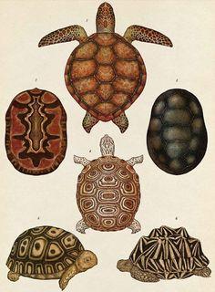 Turtles, Tortoises and Terrapins - Animalium, illustration by Katie Scott Plant Illustration, Botanical Illustration, Botanical Drawings, Botanical Prints, Desenho Tattoo, Natural History, Turtle, Artsy, Crafts