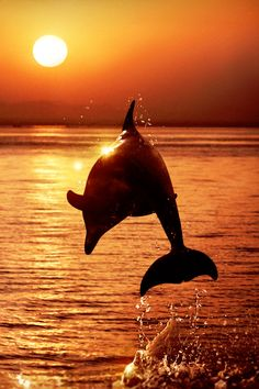 Dolphin playing at sunset
