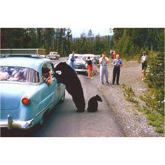 Black bears and a really old sedan.....