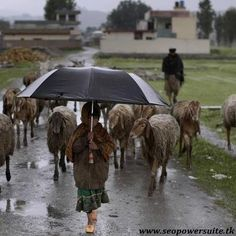 A Pakistani girl uses an umbrella for shelter from the rain while she and her father herd their sheep, near the site of the demolished compound of Osama bin Laden in Abbottabad, Pakistan,