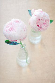 peonies, my favourite flower