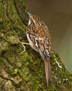 Tree Creeper in our gardeon on 22nd Feb 2014