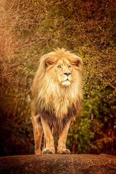 Pleasure — magicalnaturetour: Lion King II by. Lion Images, Lion Pictures, Beautiful Lion, Animals Beautiful, Lion Photography, Lions Photos, Lion And Lioness, Lion King Art, Lion Painting
