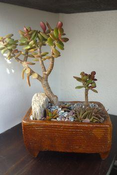 Crassula ovata minima Succulent Bonsai, Succulents, Crassula Ovata, Landscaping, Planter Pots, Decor, Herbs, Garden, Landscape Photos