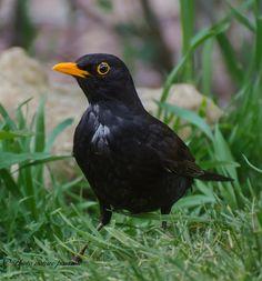 Blackbird by Philippe Picton