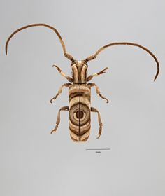 Hypsideroides junodi, a species of aptly-named Longhorn beetle in the family Cerambycidae