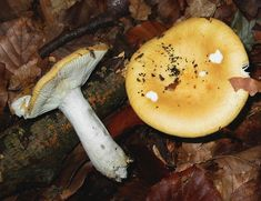 Yellow-gilled Russula (Russula Lutea)grows in both Brit.Columbia & PNW,USA,& is edible