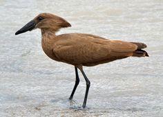 The Bird Life Of Mozambique Lazer Horse Detroit Zoo, Nocturnal Birds, Most Beautiful Birds, Flightless Bird, Spinosaurus, Shorebirds, Fish Ponds, Rare Animals, Funny Animals