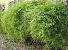 Nome Científico: Bambusa textilis gracilis Nomes Populares: Bambuzinho-de-jardim, Bambu-de-jardim, Bambuza, Bambuzinho-amarelo Família: Poaceae Categoria: Arbustos, Arbustos Tropicais, Cercas Vivas Clima: Equatorial, Oceânico, Subtropical, Tropical Origem: Ásia, China, Japão Altura: 3.6 a 4.7 metros, 4.7 a 6.0 metros Luminosidade: Meia Sombra, Sol Pleno Ciclo de Vida: Perene…