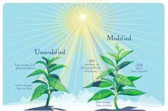 Se logra aumentar el rendimiento de un cultivo al potenciar la eficacia fotosintética de las plantas | Noticias | Investigación y Ciencia