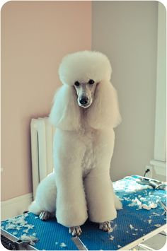 Bailey - White Standard Poodle