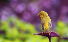 pássaro amarelo na flor roxa do papel de parede