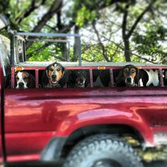 Hunting coon hounds and Dog boxes on truck