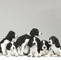 Springer Spaniel Puppies - by Sharon Montrose - Animals (cute & crazy) - Gatos Chien Springer, Springer Spaniel Puppies, Spaniel Dog, Cute Puppies, Cute Dogs, Dogs And Puppies, Doggies, Corgi Puppies, English Springer Spaniel