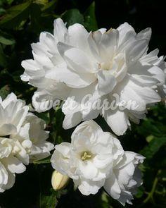 Iasomie cu flori duble (Philadelphus c. Sweet, Garden, Plant, Candy, Garten, Lawn And Garden, Gardens, Gardening, Outdoor