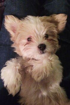 Maltipoo teddy bear puppy adorable! Maltese poodle mix.