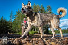Rémy promène Bartaba, l'un de ses chiens de traîneaux, au bord de la rivière Pite, Laponie suédoise  © Clément Racineux / Tonton Photo