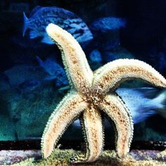 Amazing. A Starfish at the Aquarium of the Bay in Fisherman's Wharf.