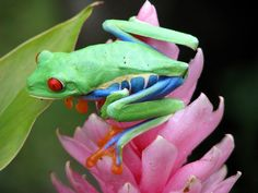 Red eyed frog has a colourful body too!!
