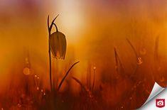 Zoom, Dandelion, Nature, Flowers, Plants, Naturaleza, Dandelions, Flora, Nature Illustration