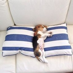 Sleepy little beagle . Sleepy little beagle Check out for more puppies . Pet Dogs, Dogs And Puppies, Dog Cat, Pets, Doggies, Puppy Obedience Training, Best Dog Training, Positive Dog Training, Cute Beagles