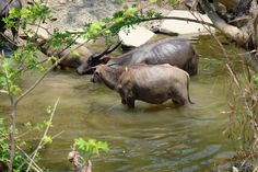 water buffalo in the mountains of Chin State - Myanmar
