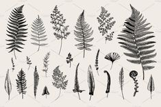 Find Set Ferns Vintage Vector Botanical Illustration stock images in HD and millions of other royalty-free stock photos, illustrations and vectors in the Shutterstock collection. Cute Tattoos, Black Tattoos, Leaf Tattoos, Small Tattoos, Tatoos, Tattoo Arm, Botanical Tattoo, Botanical Drawings, Botanical Illustration Black And White